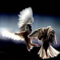 Sepasang Burung Gereja