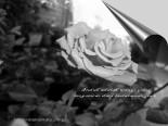 wangi mawar